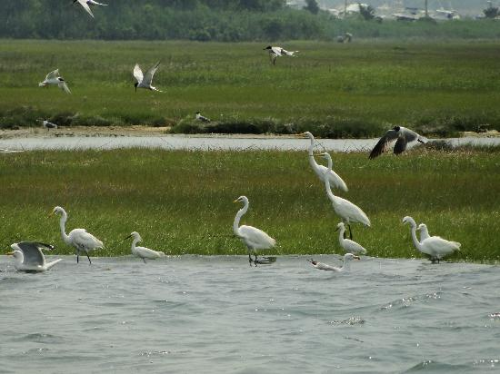Birding By Boat on the Osprey : A feeding frenzy--terns, gulls, great white and snowy egrets