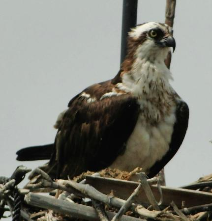 Birding By Boat on the Osprey : Osprey