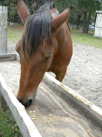 Best Western Chincoteague Island: Feed the ponies just across the street