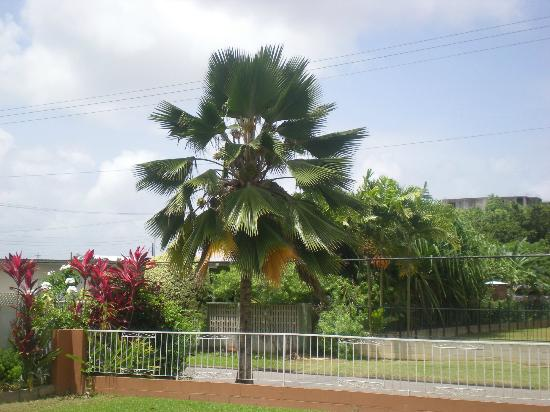 Norma's Bed and Breakfast: Coconut tree