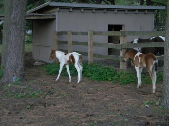 Best Western Chincoteague Island: Cute foals across the street (June 2012)