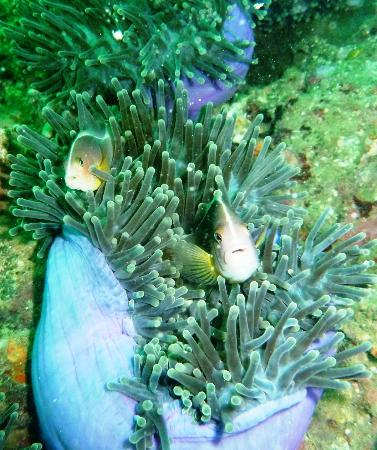 Sea Fun Divers - Day Trips: Mum and Dad skunk clown fish