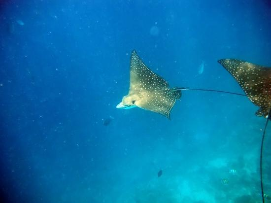 Embudu Village: Eagle rays photographed whilst snorkeling.