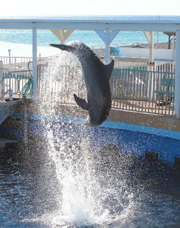 ‪‪Fort Walton Beach‬, فلوريدا: Dolphin Show‬