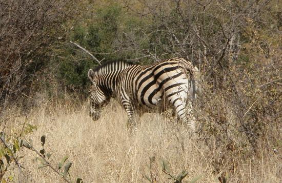 Mokolodi Nature Reserve : Zebra