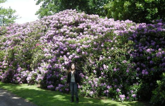 Castillo de Sofiero: Sofiero, Rhododendron