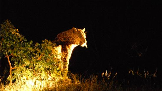 Cheetah Plains: Leopard during night game drive