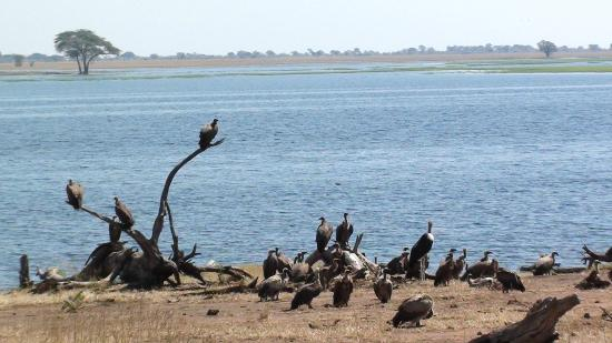 Muchenje Safari Lodge : Vultures