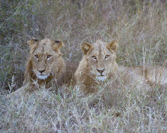 andBeyond Ngala Safari Lodge: Young male lions