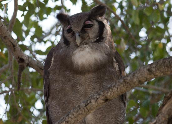 andBeyond Ngala Safari Lodge: Verreaux's Eagle-Owl