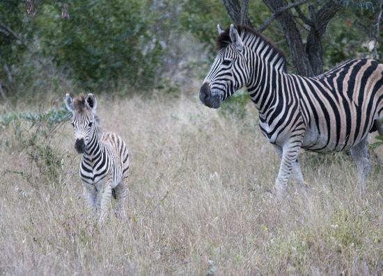 andBeyond Ngala Safari Lodge: Zebra and foal