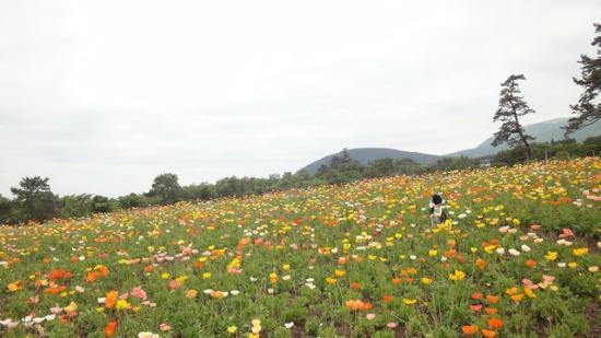 Kuju Flower Park: ポピー満開