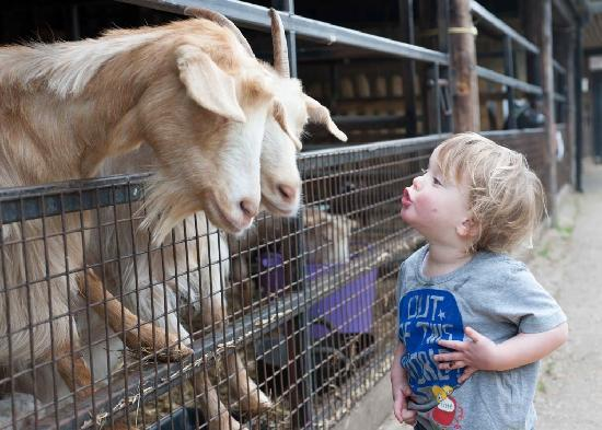 Lee Valley Park Farms: Visit the lovely goats