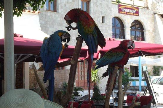 Rhodes, กรีซ: pappagalli