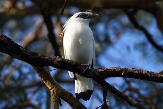 West Bali National Park, Indonésia: Bali Starling photographed at The Menjangan
