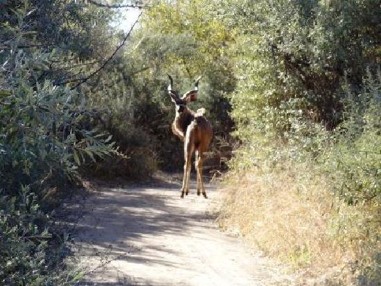 Ditholo Game Lodge: Kudu