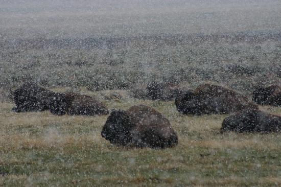 The Wild Side Wildlife Tours & Treks: Bison in a snowstorm