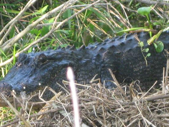Bayou Black Airboat Swamp Tours: Mama gator protecting her nest