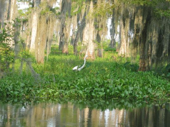 Bayou Black Airboat Swamp Tours: Egret in the swamp