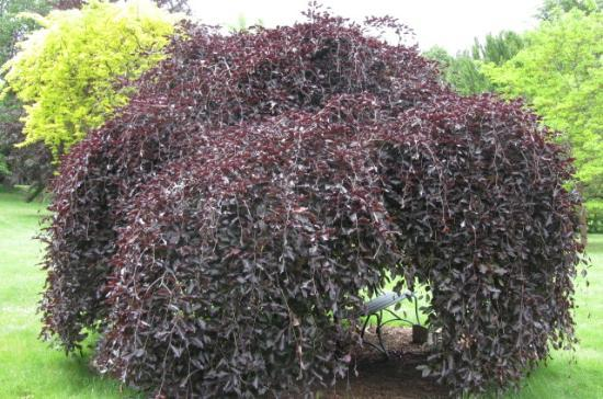 John A. Finch Arboretum: weeping copper beech. lovely to sit inside