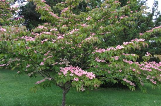 John A. Finch Arboretum: pink flowering dogwood. I want it.