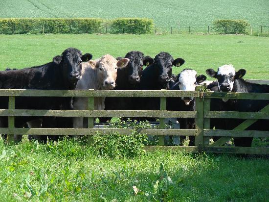 Crosshall Farmhouse B&B: Cattle enjoying the summer sun at Crosshall
