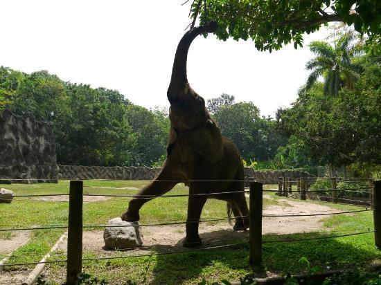 Mayaguez Zoo: Elefante Mundi @ Zoologico de Mayaguez