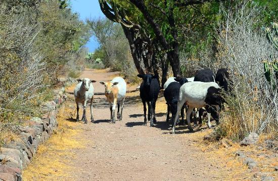 เอลชาร์โคเดลอินเจนิโอ: Goats