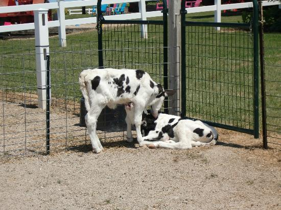 Dairy View: Cute little calves!