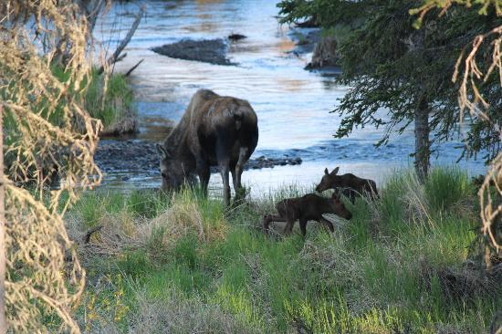 Crooked Creek Retreat & Outfitters: Moose Momma and Babies