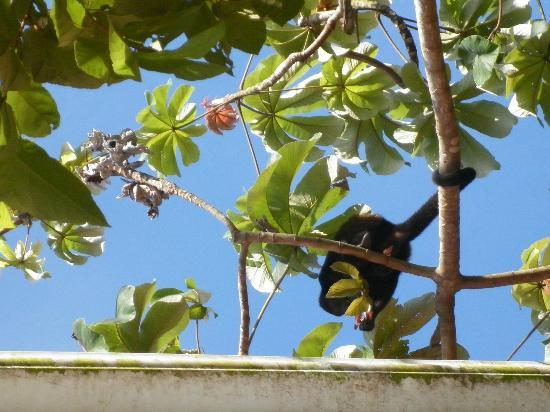 Hotel Mariposario Montezuma Gardens: The monkey spotted at breakfast