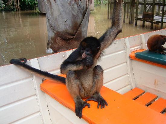 Amazon Explorama Lodges: A monkey in the boat during a day trip