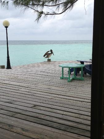 Coco Plum Island Resort: Pelicans are a very common sight at Coco Plum.