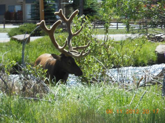 Elkhorn Lodge and Guest Ranch: And more Elk! This time with fuzz on the antlers. A wonderful reminder of Colorado's glory.