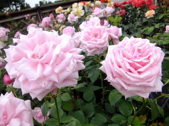 Aramaki rose garden: 美しく咲き乱れてます~