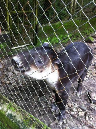 El Nispero Zoo and Botanical Garden : Un Tapir
