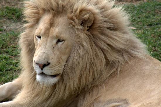 Oudtshoorn, Sudáfrica: Leão branco