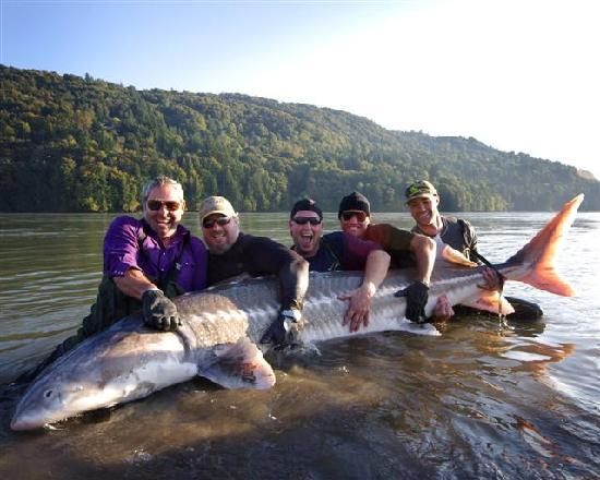 9 39 4 white sturgeon picture of the fraser river 39 s edge b for Fraser river fishing