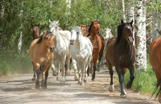 R Lazy S Ranch: Horses going out to pasture