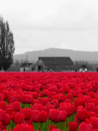 Mount Vernon, Etat de Washington : Red tulip field
