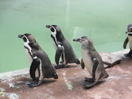 Antwerp Zoo (Dierentuin): penguins