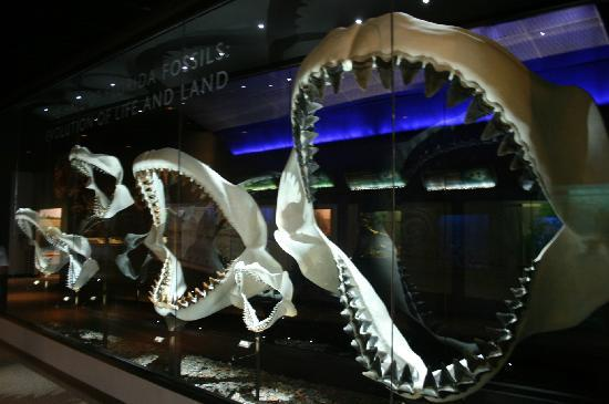 Florida Museum of Natural History: MEGALODON