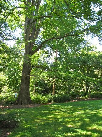 Coker Arboretum: Bald Cypress - one of several in the Arboretum