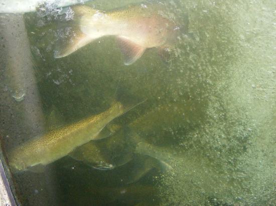 Capilano Salmon Hatchery: Fish aquarium (Are you talking to me???)