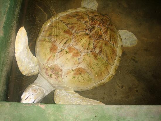 Хикадуа, Шри-Ланка: White turtle