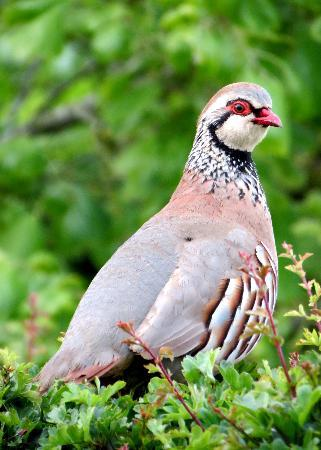 Bilton Barns: Local resident, a red legged partridge