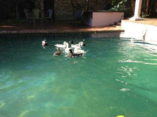 Ducks at Foxwood House in Johannesburg