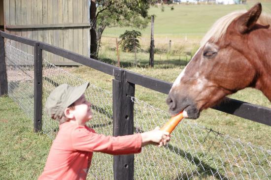 Clandulla Cottages, Beaudesert: The old horse we just couldn't bring home
