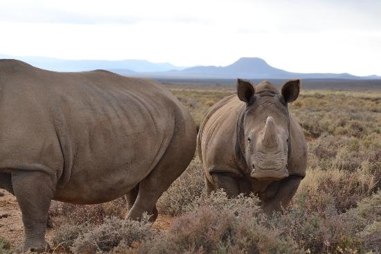 Inverdoorn Game Reserve Safaris: The rhinos