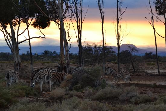 Inverdoorn Game Reserve Safaris: Zebras at sunrise